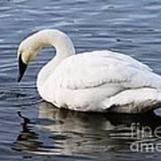 Dribbling Swan Art Print