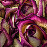 Dried Pink And White Roses Art Print