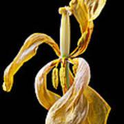 Dried Tulip Art Print