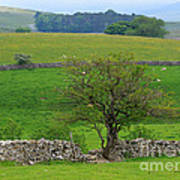 Dry Stone Wall And Twisted Tree Art Print