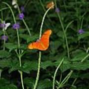 Dryas Iulia  Butterfly Art Print