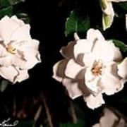 Dual Gardenias Art Print
