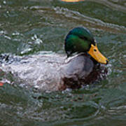 Duck Bathing Series 1 Art Print