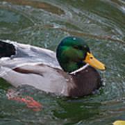 Duck Bathing Series 3 Print by Craig Hosterman