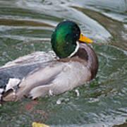Duck Bathing Series 5 Art Print