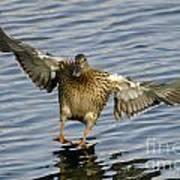 Duck Landing Art Print