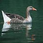 Duck On Water Art Print