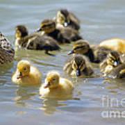 Ducklings 09 Art Print