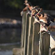 Ducks Ducks Ducks Art Print