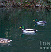 Ducks In A Line  Print by The Kepharts
