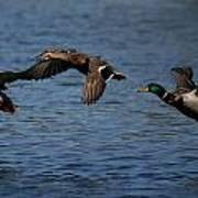Ducks In Flight 2 Art Print