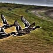 Ducks In Flight V5  Art Print