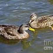 Ducks In The Sun Art Print