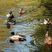 Ducks On The Water Art Print