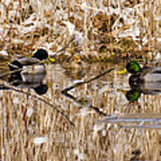 Ducks Reflect On The Days Events Art Print