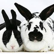 Dutch Rabbits Art Print