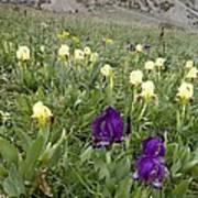 Dwarf Iris (iris Pseudopumila) Art Print