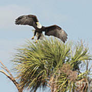 Eagle In The Palm Art Print