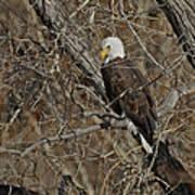 Eagle In Tree 3 Art Print
