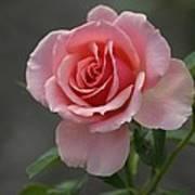 Early Morning Rose Art Print