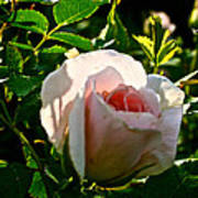 Early Rose Art Print