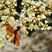 Eastern Amberwing On Wild Buckwheat Art Print