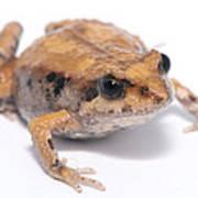 Eastern Banjo Frog Isolated On White Art Print by Brooke Whatnall