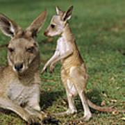 Eastern Grey Kangaroo And Joey Art Print