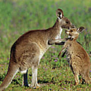 Eastern Grey Kangaroo Macropus Art Print