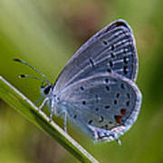 Eastern Tailed-blue Butterfly Din045 Art Print