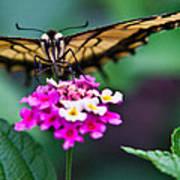 Eastern Tiger Swallowtail 7 Art Print
