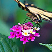 Eastern Tiger Swallowtail 8 Art Print