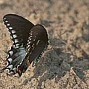 Eastern Tiger Swallowtail 8526 3205 Art Print