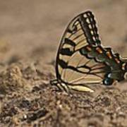 Eastern Tiger Swallowtail 8542 3219 Art Print