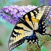 Eastern Tiger Swallowtail On Butterfly Bush Art Print