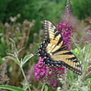 Eastern Tiger Swallowtail Art Print