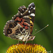 Echinacea Butterfly Meal Art Print by Darleen Stry