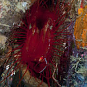 Electric Clam, Lembeh Strait, North Art Print