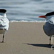 Elegant Tern Art Print