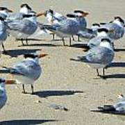 Elegant Terns Enjoying The Beach Art Print