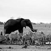 Elephant And Giraffes Art Print