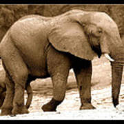 elephant of Botswana Art Print