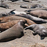 Elephant Seal Colony On Big Sur  Art Print