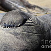 Elephant Seal Fin Nails . 7d16083 Art Print