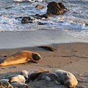 Elephant Seals At Piedras Blancas Art Print