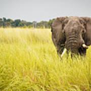 Elephants Of Botswana Art Print