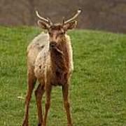 Elk 1 Art Print