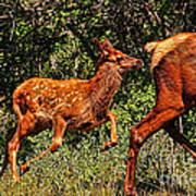 Elk Fawn Art Print