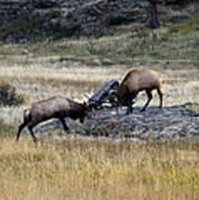 Elks Rutting Art Print