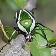 Emerald Fruit Chafer Beetle Art Print